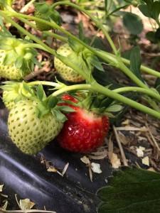 aranfarming-maasikakasvatus23