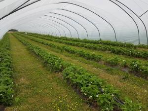 aranfarming-maasikakasvatus1