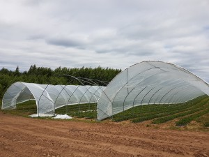 aranfarming-maasikakasvatus15