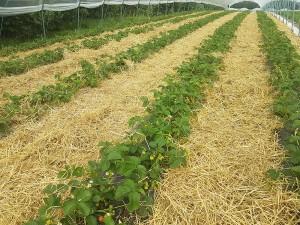 aranfarming-maasikakasvatus16