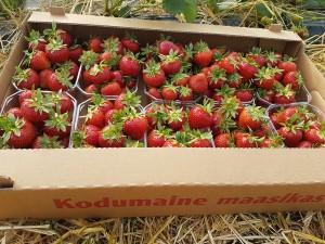 aranfarming-maasikakasvatus17