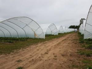 aranfarming-maasikakasvatus2
