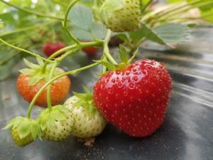 aranfarming-maasikakasvatus20