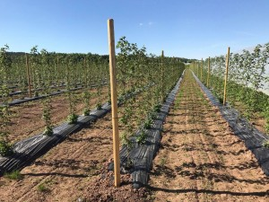 aranfarming-maasikakasvatus24