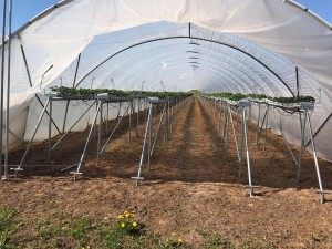 aranfarming-maasikakasvatus28
