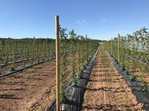 aranfarming-maasikakasvatus30