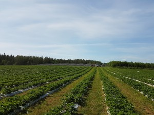 aranfarming-maasikakasvatus5