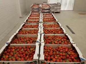 aranfarming-maasikakasvatus8